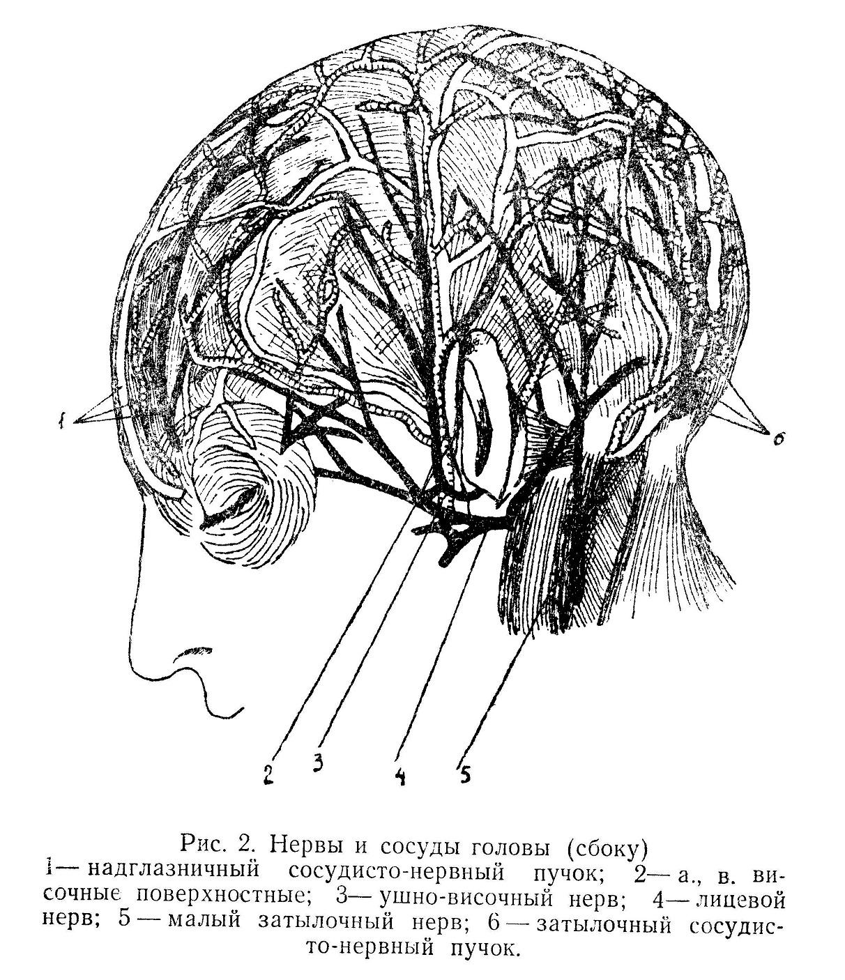 Нервы и сосуды головы (сбоку)
