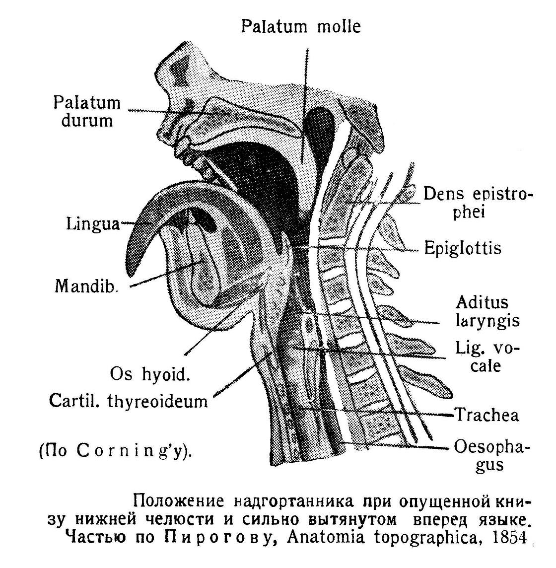 Положение надгортанника при опущенной книзу нижней челюсти и сильно вытянутом вперед языке.