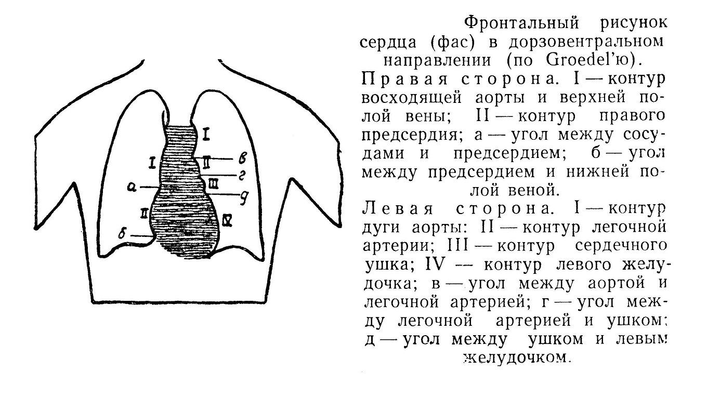 Фронтальный рисунок сердца (фас) в дорзовентральном направлении