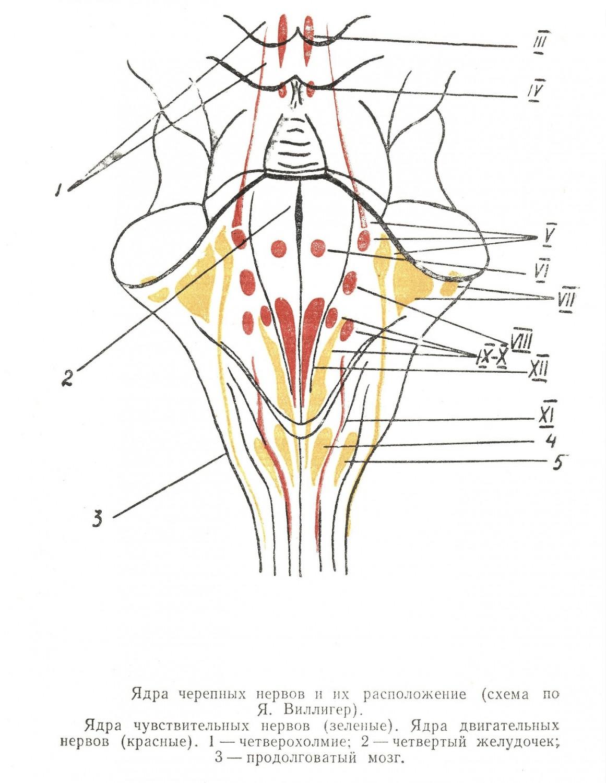 Ядра черепных нервов и их расположение