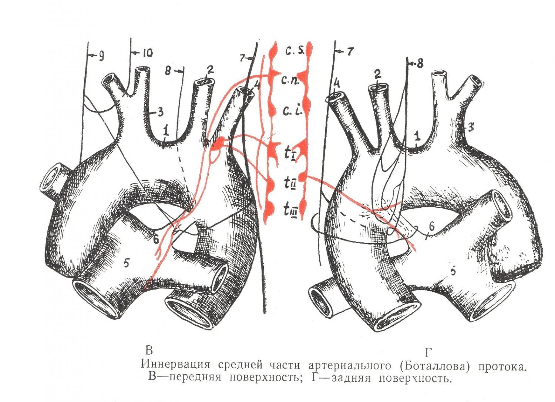 Иннервация средней части артериального протока