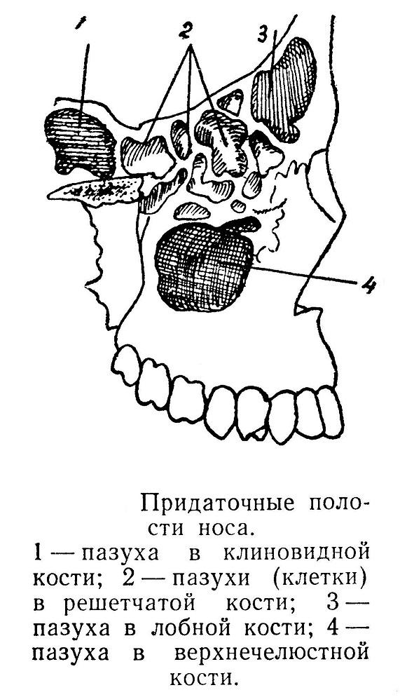 Придаточные полости носа