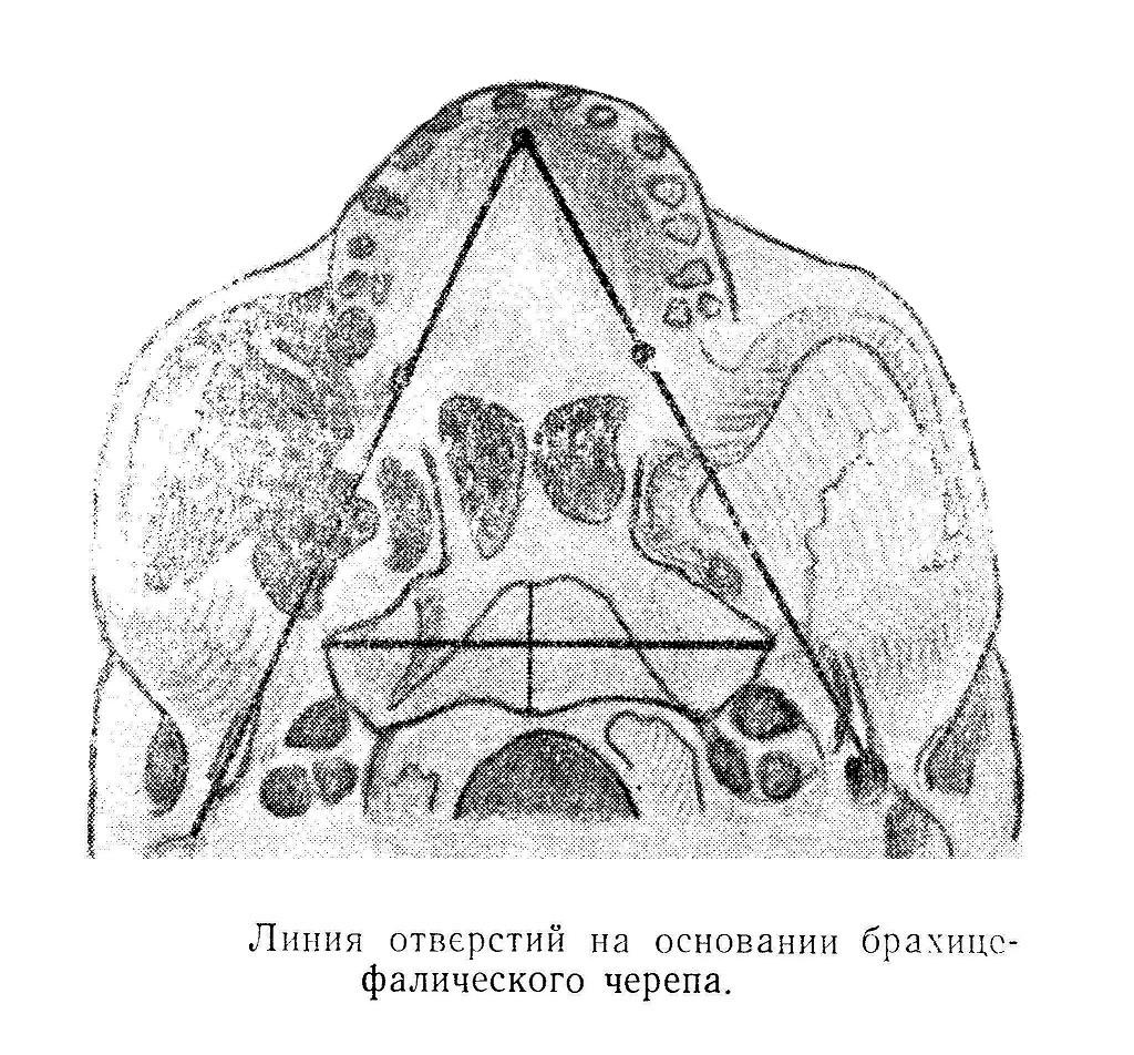 Линия отверстий на основании брахицсфалического черепа.