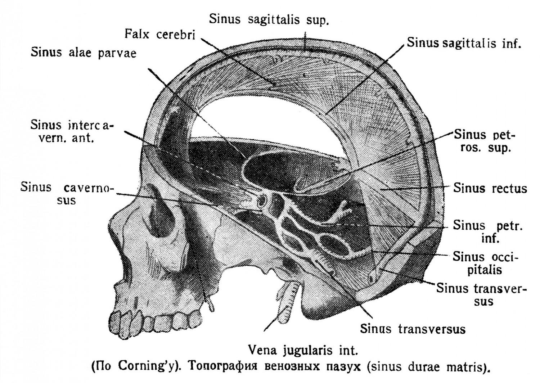 Топография венозных пазух (sinus durae matris).