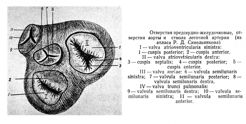 Отверстия предсердно-желудочковые, отверстия аорты и ствола легочной артерии