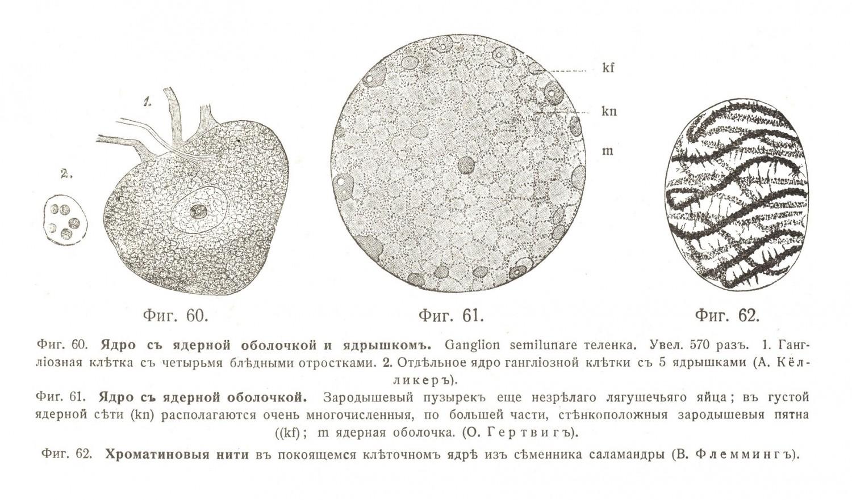 Клѣточное ядро (Nucleus)