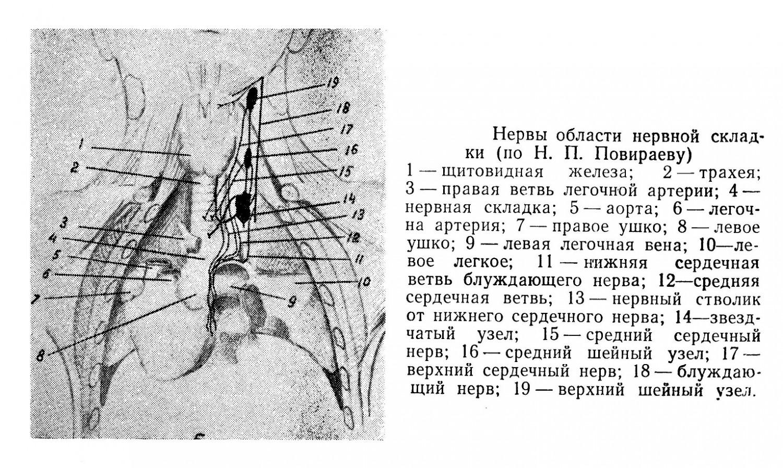 Нервы области нервной складки
