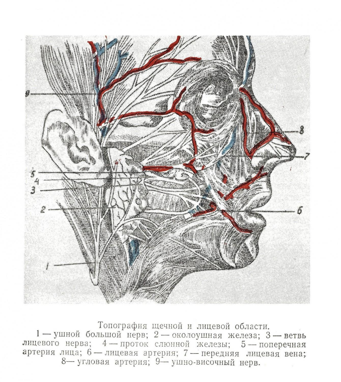 Топография щечной и лицевой области