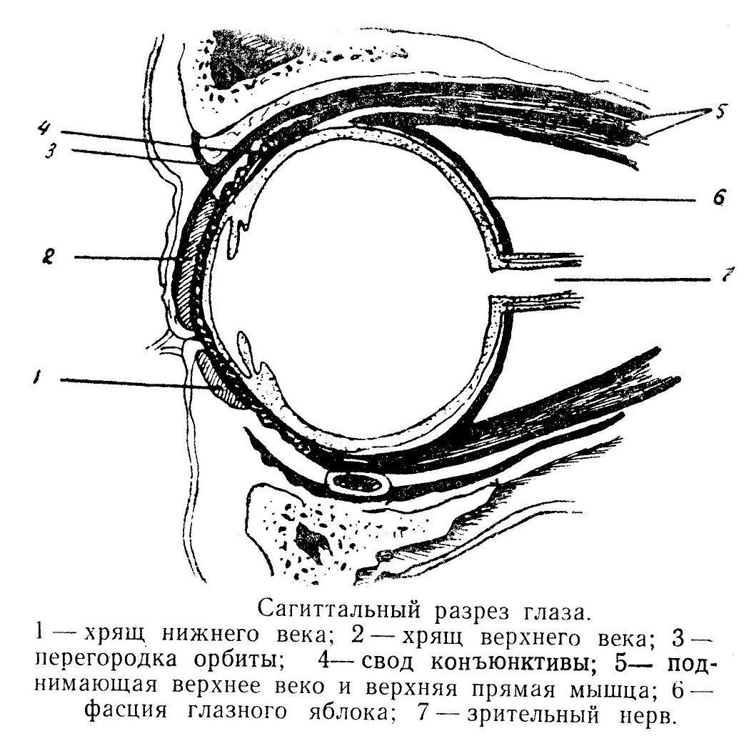 Сагиттальный разрез глаза