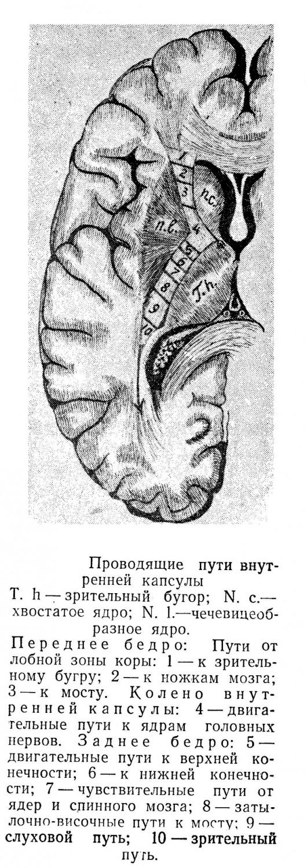 Проводящие пути внутренней капсулы