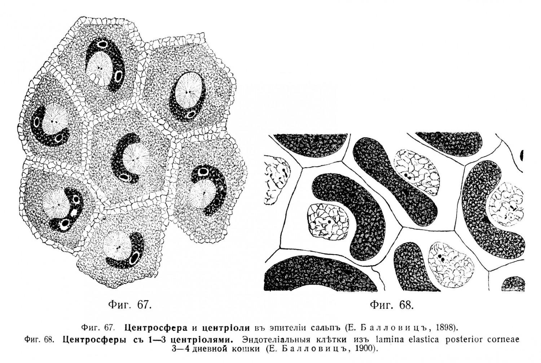 Центральное тѣльце часто помѣщается въ углубленіи ядра.