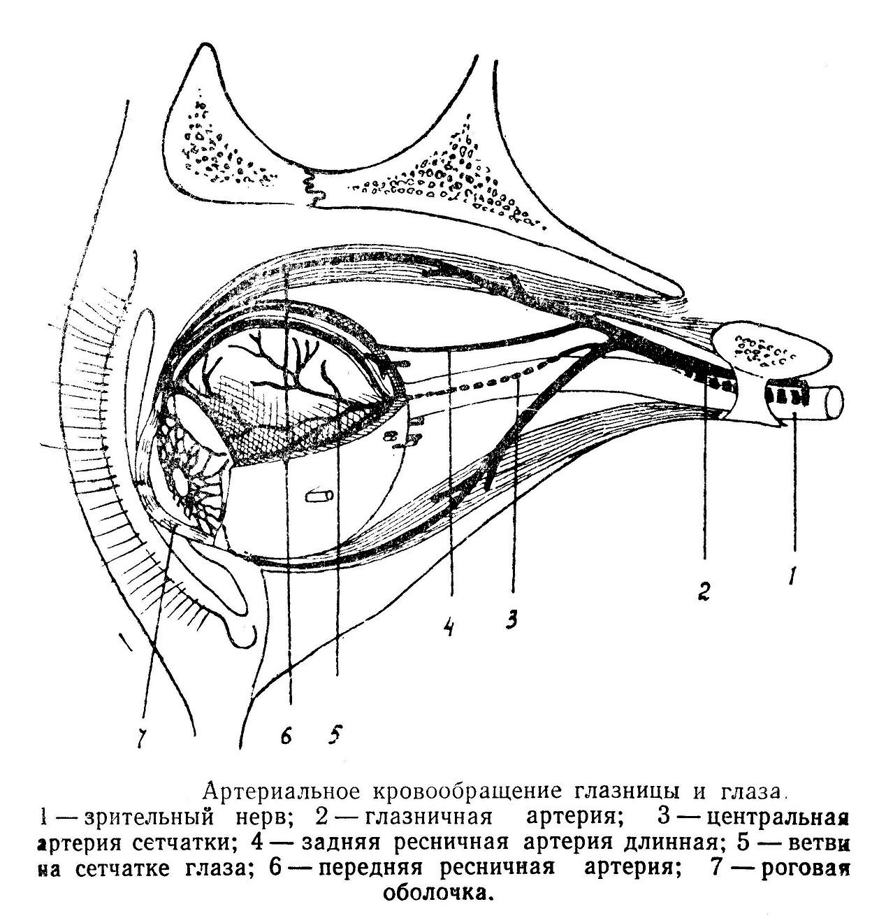 Артериальное кровообращение глазницы и глаза