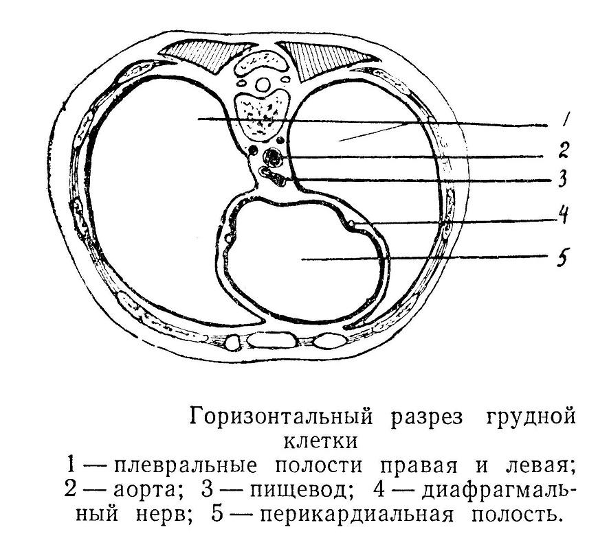 Горизонтальный разрез грудной клетки