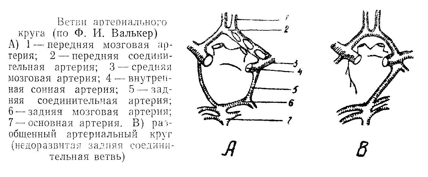 Ветви артериального круга (по Ф. И. Валькер).