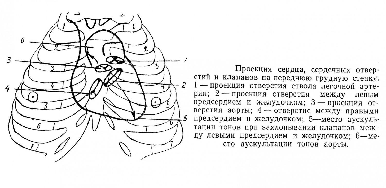 Проекция сердца, сердечных отверстий и клапанов