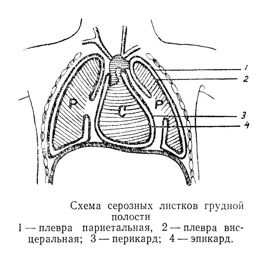 Схема серозных листков грудной полости