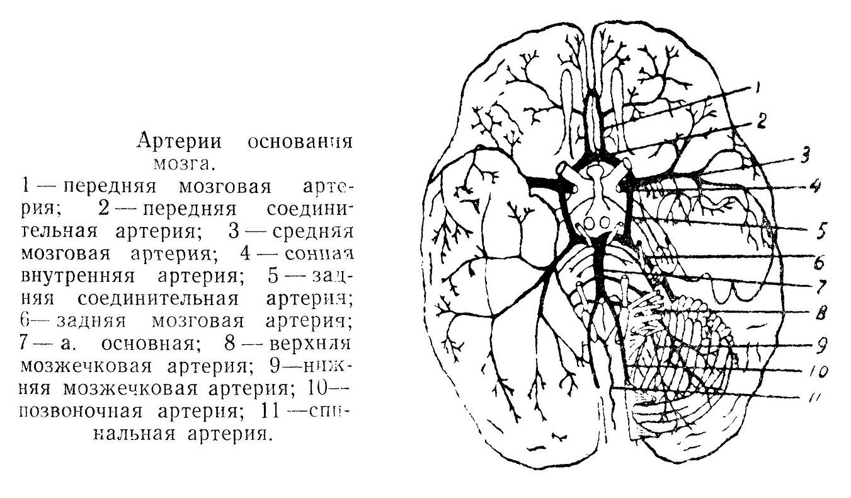 Артерии основания мозга