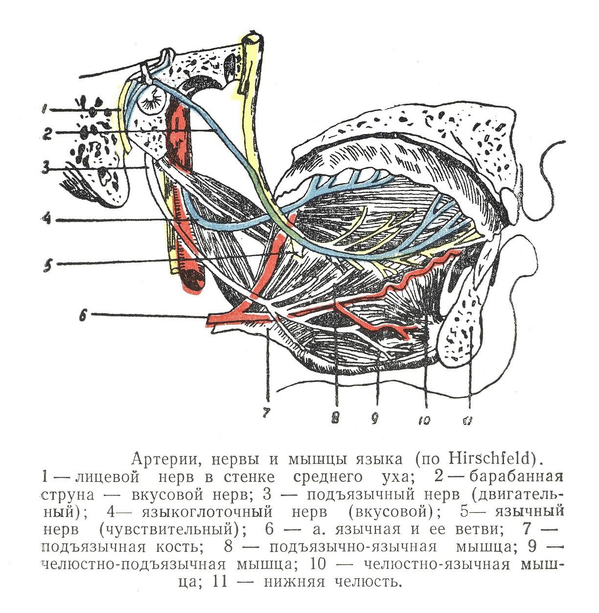 Артерии, вены и мышцы языка
