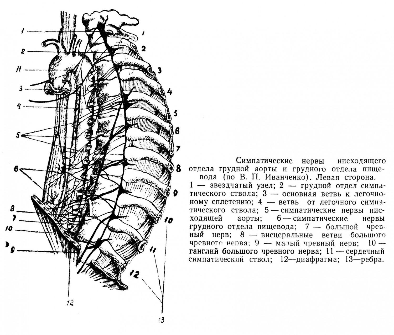 Симпатические нервы нисходящего отдела грудной аорты и грудного отдела