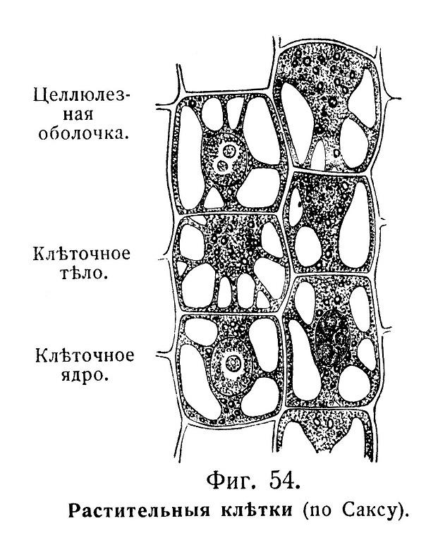 Для растительныхъ клѣтокъ, окруженныхъ плотной оболочкой