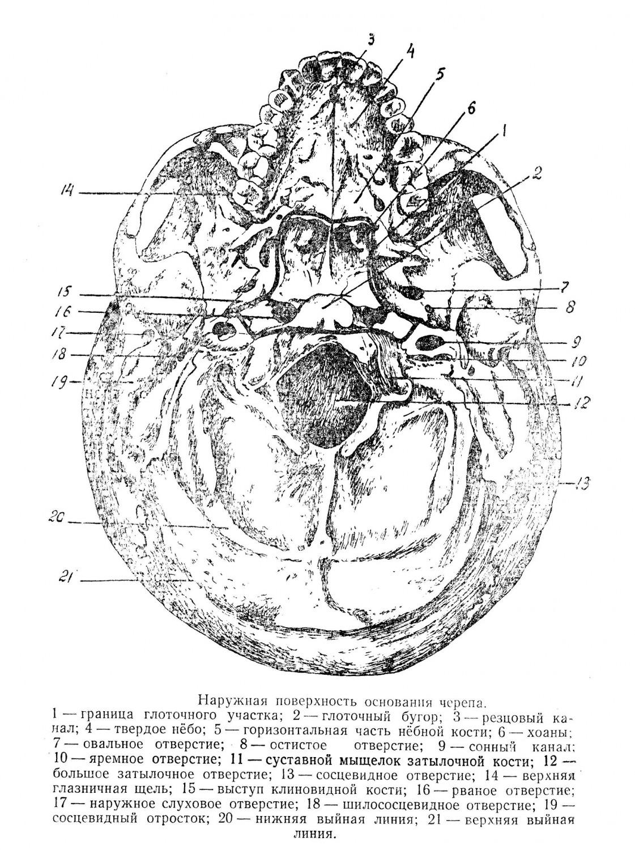 Наружная поверхность основания черепа.