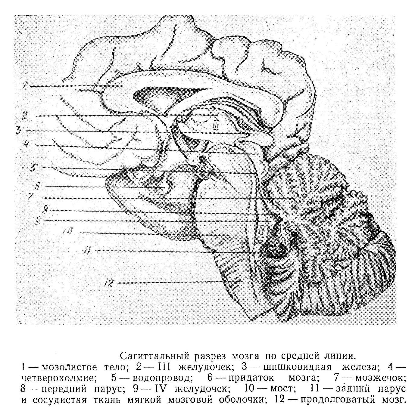 Сагиттальный разрез мозга по средней линии