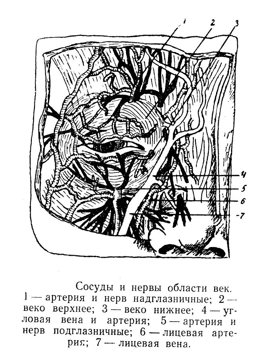 Сосуды и нервы области век