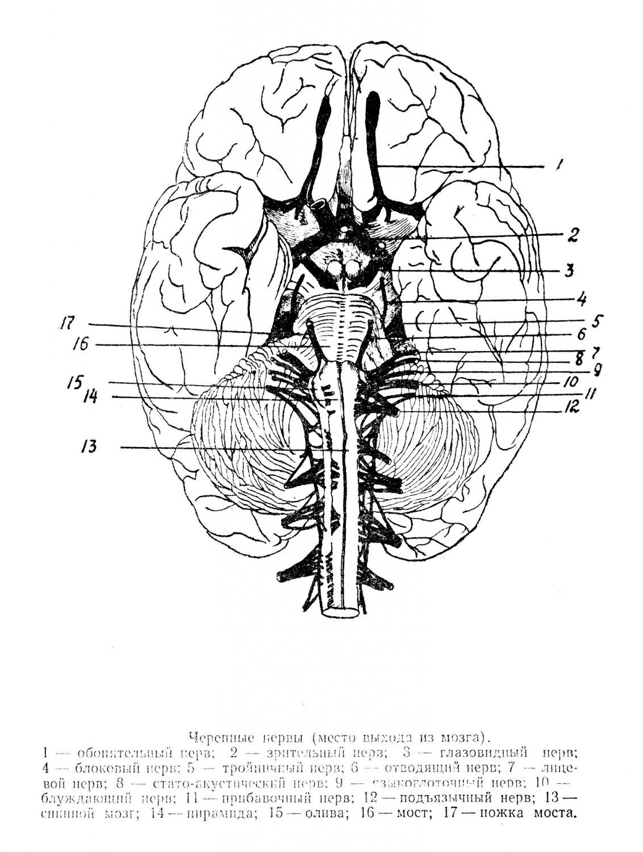 Черепные нервы (место выхода из мозга)