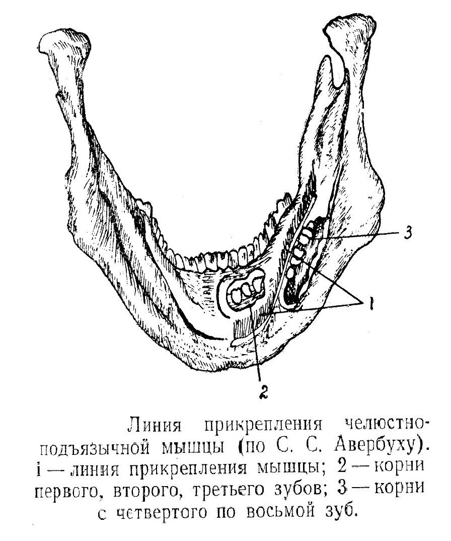 Линия прикрепления челюстно подъязычной мышцы