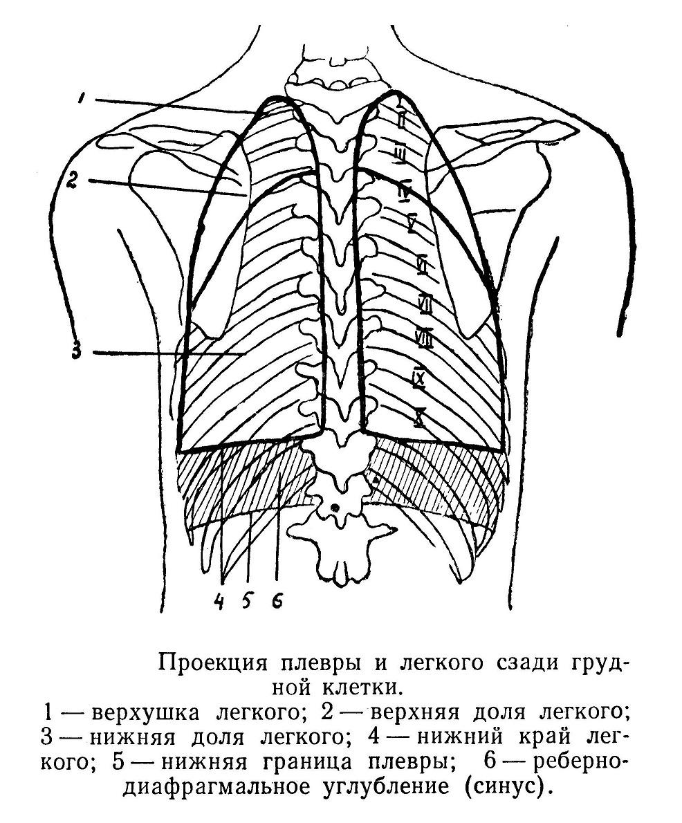 Проекция плевры и легкого сзади грудной клетки.