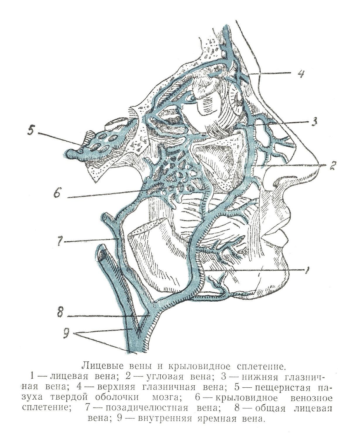 Лицевые вены и крыловидное сплетение
