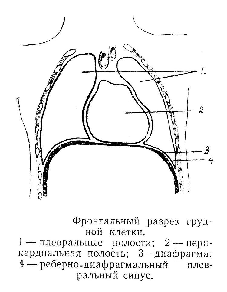 Фронтальный разрез грудной клетки
