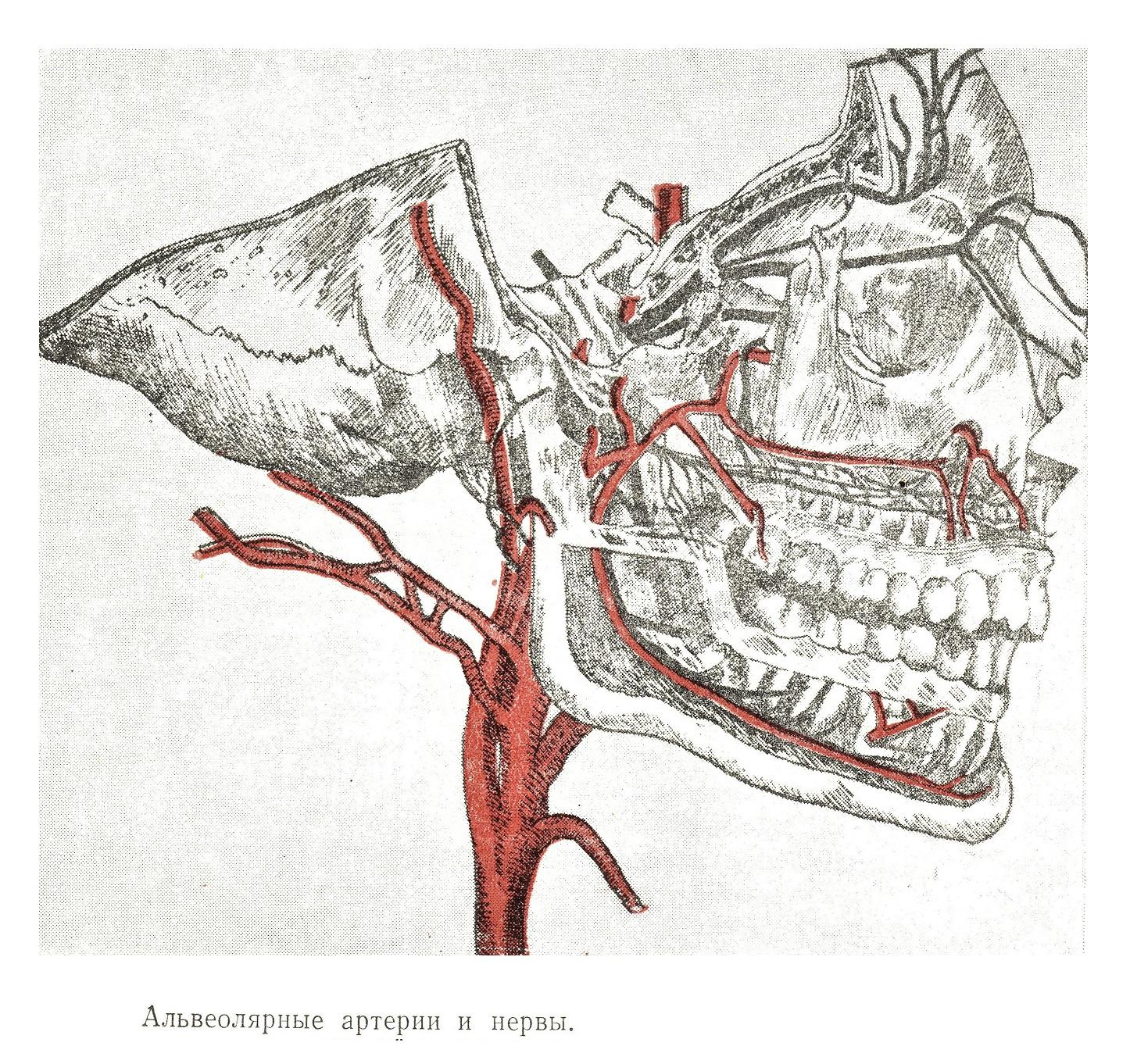 Альвеолярные артерии и нервы