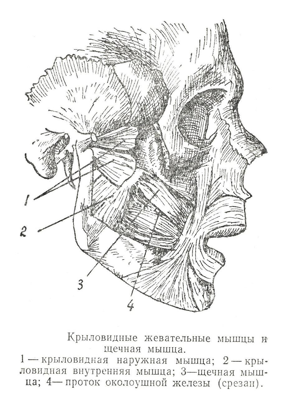 Крыловидные жевательные мышцы и щечная мышца