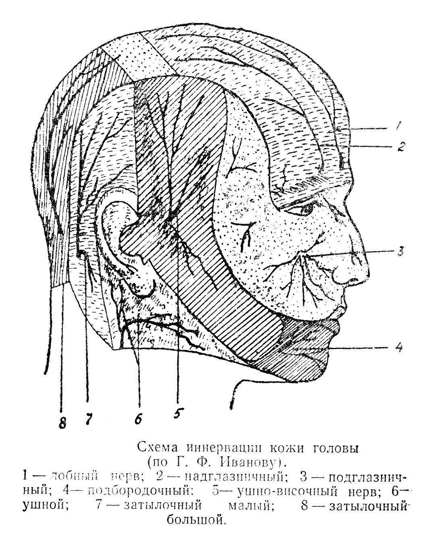 Схема иннервации кожи головы
