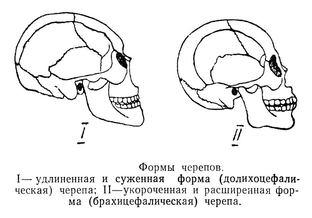 Формы черепа