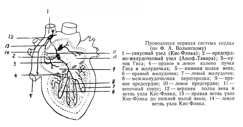 Проводящая нервная система сердца