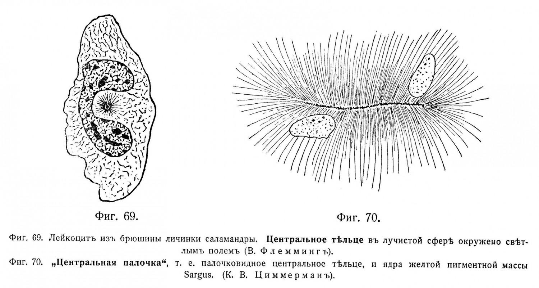 Количество и форма центріолей измѣнчивы.