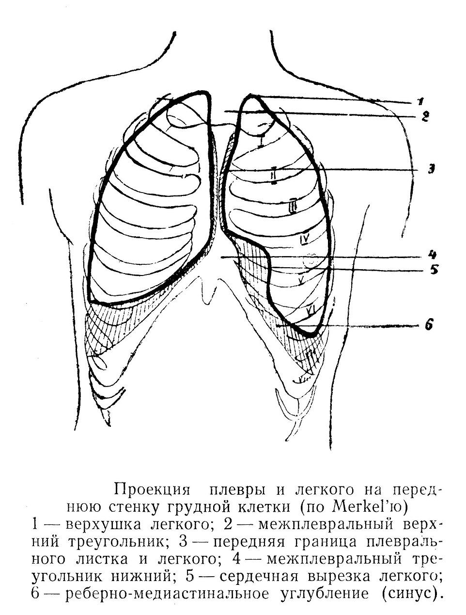 Проекция плевры и легкого на переднюю стенку грудной клетки