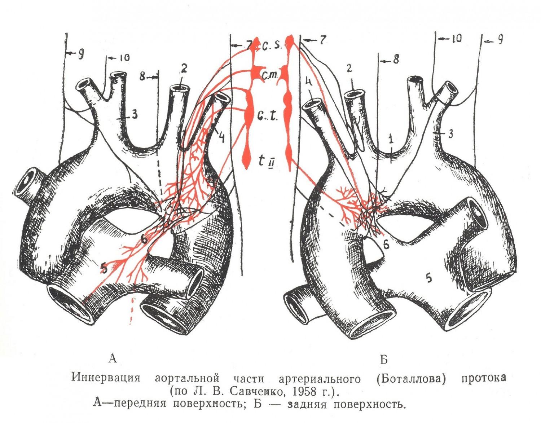Иннервация аортальной части артериального протока