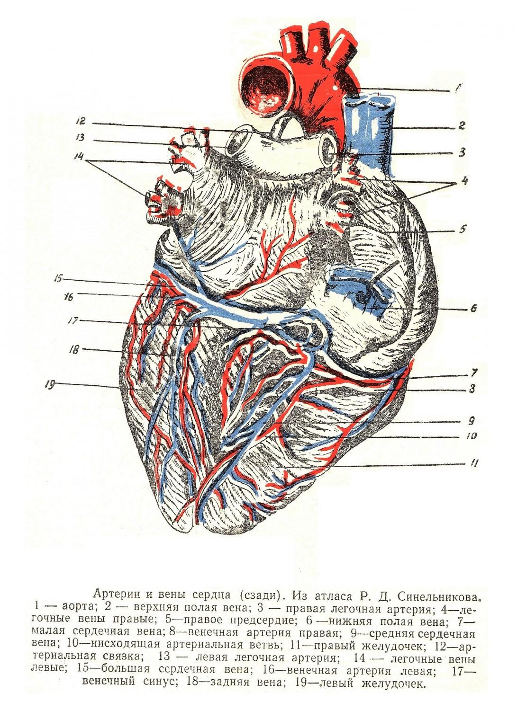 Артерии и вены сердца сзади