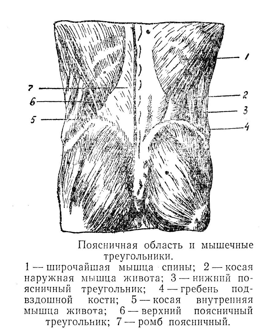 Поясничная область и мышечные треугольники