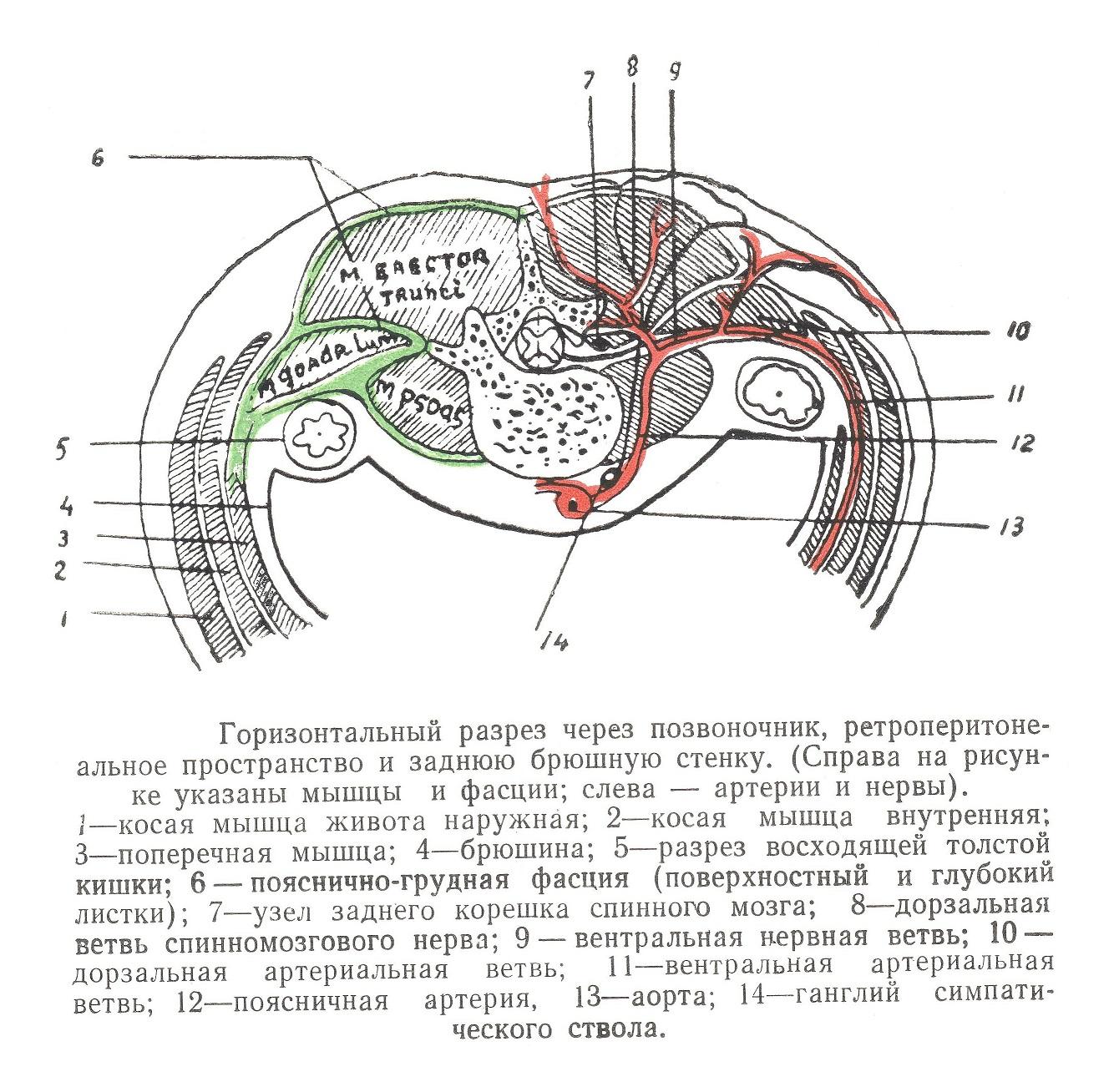 Горизонтальный разрез через позвоночник