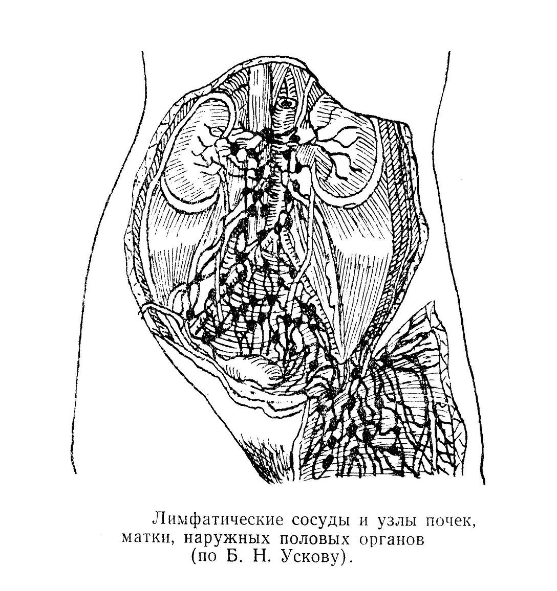 Лимфатические сосуды и узлы почек, матки, наружных половых органов