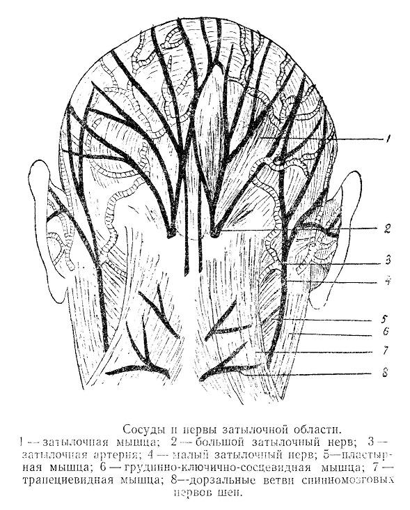 Сосуды и нервы затылочной области