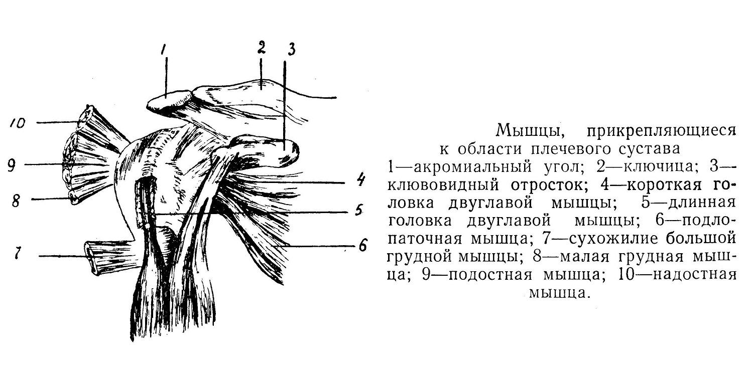 Мышцы прикрепляющиеся к области плечевого сустава