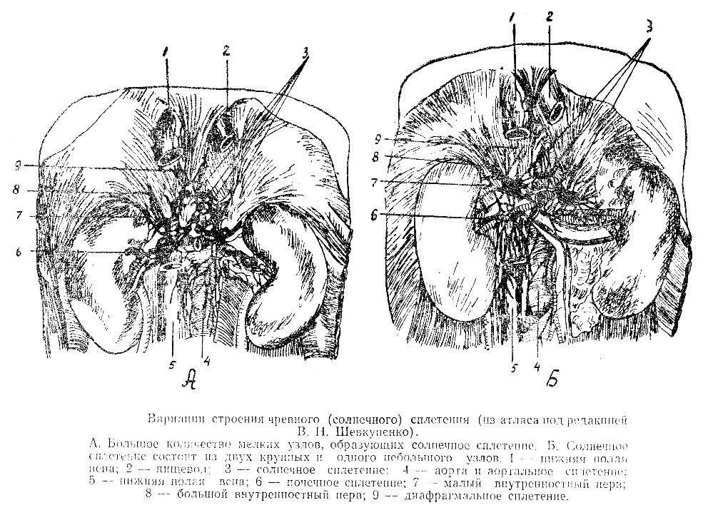 Вариации строения чревного сплетение (ganglion coeliacum)