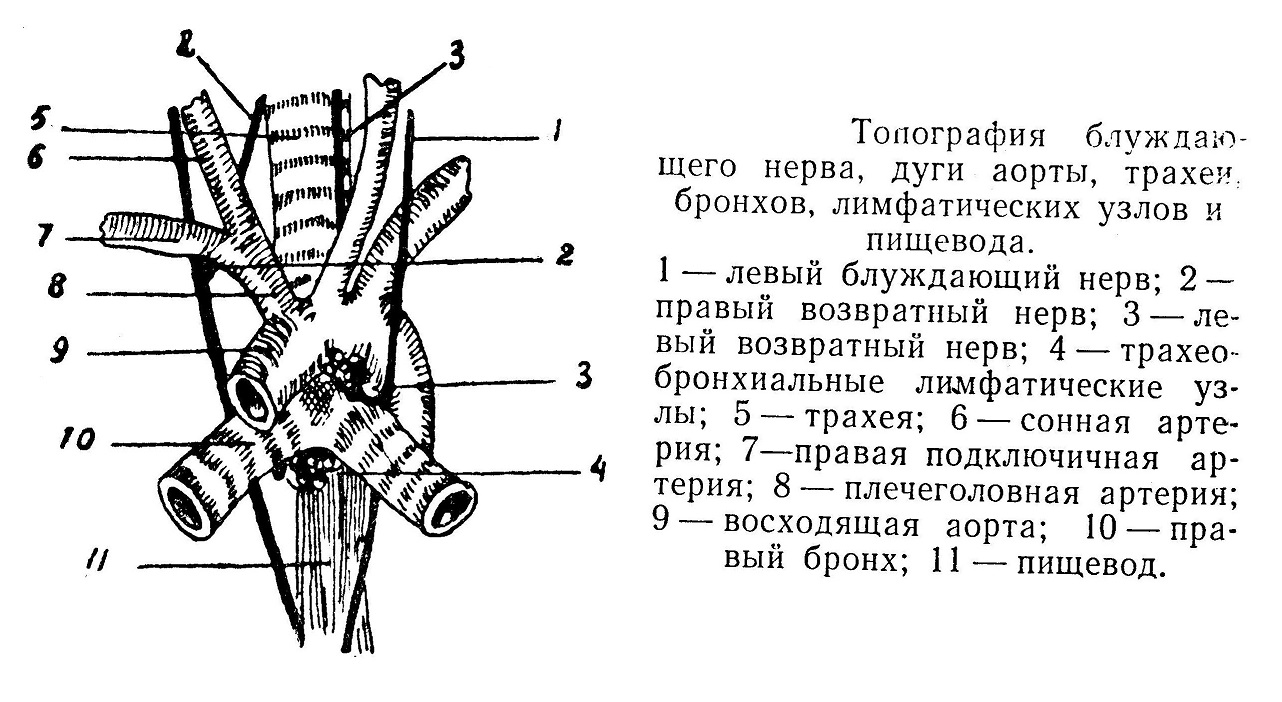 Топография блуждающего нерва, дуги аорты, трахеи, бронхов,