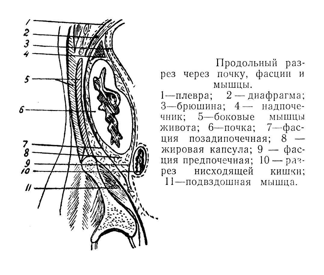 Продольный разрез через почку, фасции и мышцы