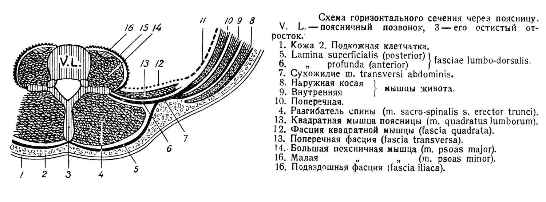 Схема горизонтального сечения через поясницу